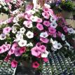 "10"" # 6 Supertunia Vista Bubblegum, Fuschia & Silverberry"